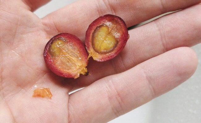 liberica cherry half