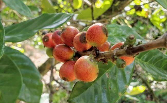 liberica ripe cherries (1)