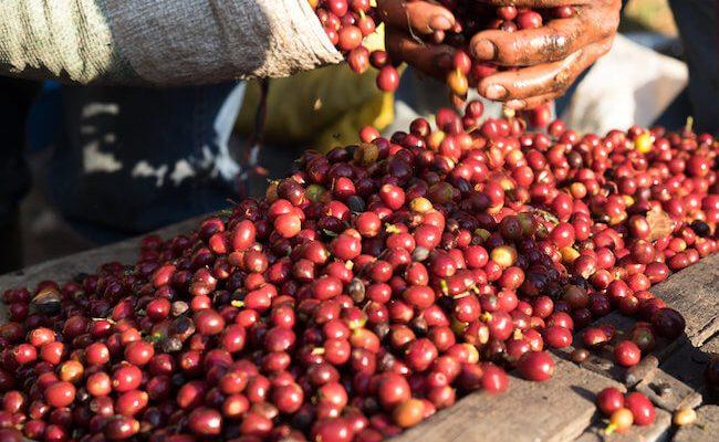 ripe cherries (1)
