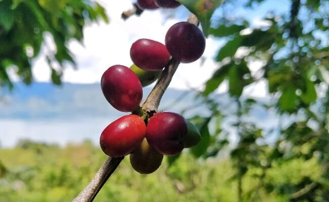 sumatra coffee cherries