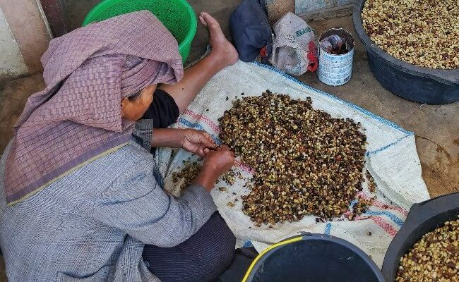 A female farmer giling basah processing